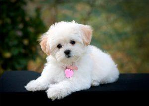 Terrier Maltese Cinsi Köpekler Hakkında
